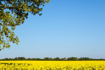 yellow blossom: Yellow blossom field with green branches in foreground