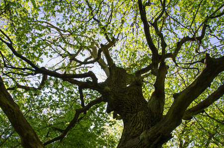 An old oak tree trunk with fresh green leaves at spring