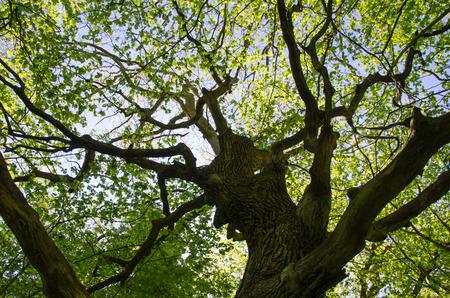 Ein alter Eichenstamm mit frischen grünen Blättern im Frühjahr