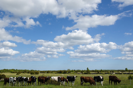 barb wire: Cattle standing in a row at a barb wire fence in plain grassland at the swedish island Oland