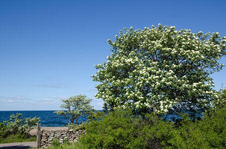 oland: Blossom whitebeam tree by the coast of the swedish island Oland in the Baltic Sea