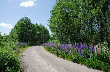lupines: Gravel road surrounded of blossom lupines in a summer landscape in Sweden Stock Photo
