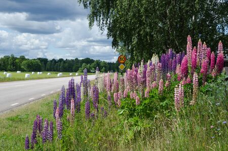 lupines: View from a swedish country road with multicolored lupines at roadside Stock Photo