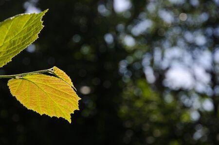 reddish: Backlit reddish hazel leaf at a natural dark green background
