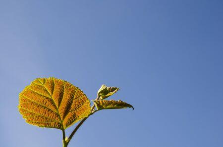 reddish: Reddish hazel leaf at a twig with blue sky as background Stock Photo