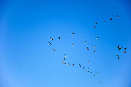 brent: Group of brent geese flies in formation at a blue sky