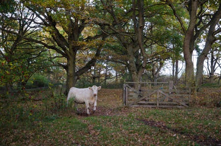 steers: Cow is passing an open old wooden gate in the woods at fall