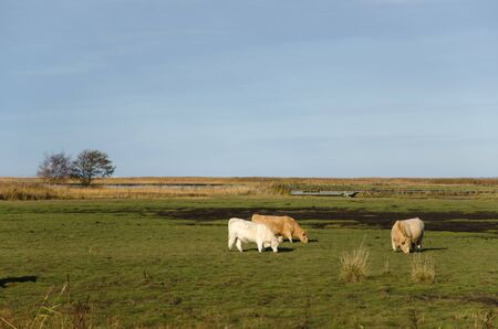 cattle grazing: Group of charolais cattle grazing in a green marshland