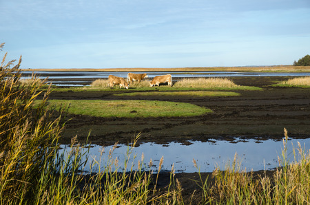 steers: Grazing cattle in a muddy marshland Stock Photo