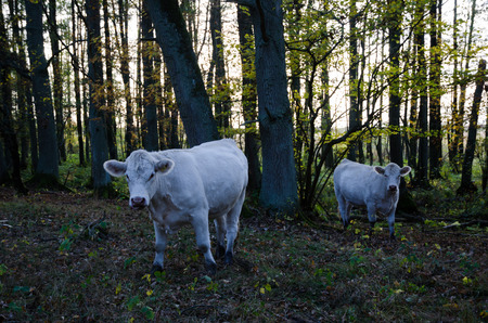 unconcerned: White curious cows looking in the camera in a forest