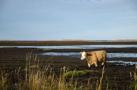 unconcerned: Sunlit cow walks in muddy water in a marsland Foto de archivo