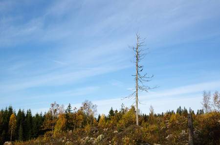 snag: Fir snag in a colored forest landscape at fall