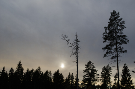 mystique: Pine tree snag and a living pine tree silhouettes in a mystique dark forest Stock Photo