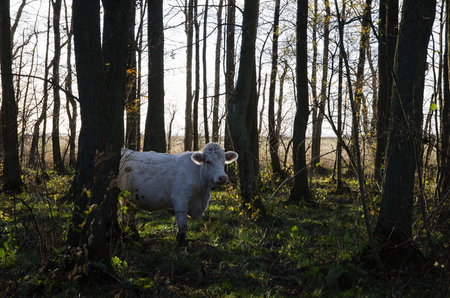 steers: White cow among trees in a sunlit forest at fall