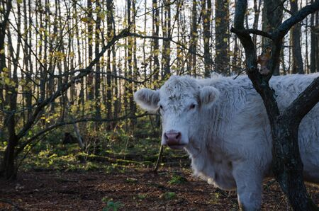 unconcerned: Single white cow in a green forest at fall Stock Photo