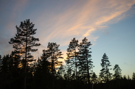 gloaming: Forest with silhouettes of pine trees at dusk