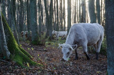 steers: Grazing white cattle among trees at fall in a forest
