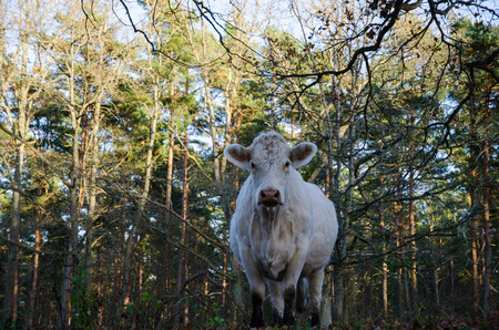 low perspective: Staring cow in a forest from a low perspective Stock Photo
