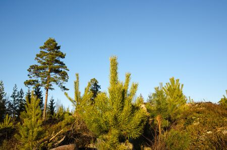 regeneration: Regeneration of a pine tree forest with new plants and an old pine tree in the back