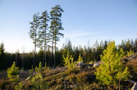 regeneration: Forest regeneration with pine tree plants at a clearcut area with old trees in the back