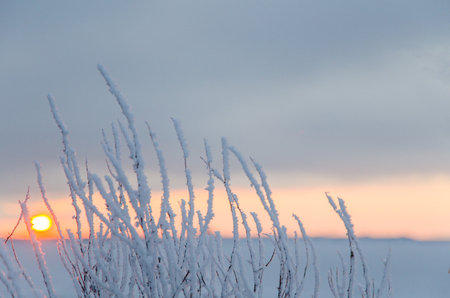 straw twig: Hoar frost at twigs with the setting sun in the horizon Stock Photo