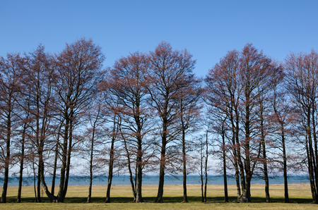 alder: Bare alder trees in a row by the coast at the swedish island Oland in the Baltic Sea. Stock Photo