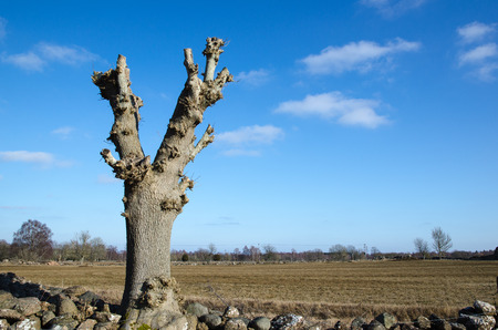newly: Newly lopped tree by a field at spring