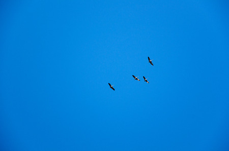 is cloudless: Small group of migrating common cranes at a cloudless blue sky Stock Photo