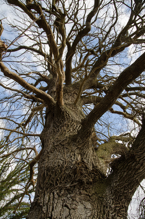 protected plant: Detail of an old mighty oak tree at spring