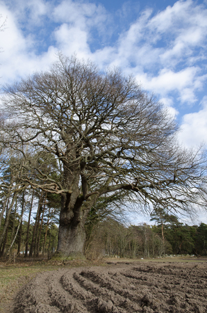protected plant: Old mighty protected oak tree in a landscape at spring