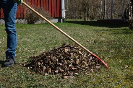 Gardener is raking dry leaves into a heap in a garden at spring