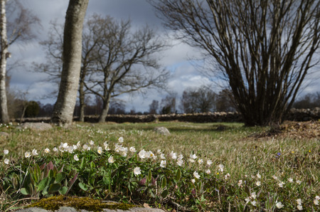 pastureland: Springtime view with a low angle image of blossom windflowers in a sunny swedish pastureland Stock Photo