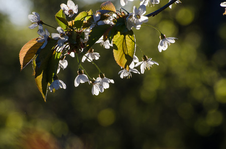 back light: Twig of a cherry tree with white flowers in back light at a natural green background