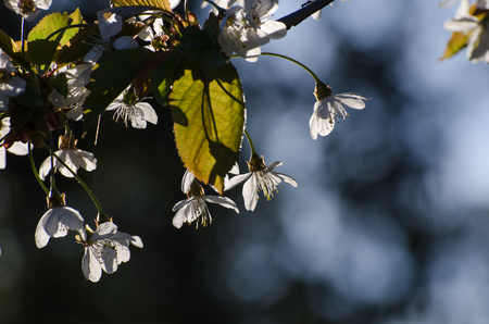 back light: White cherry blossom in back light contasting at a dark and blue background Stock Photo