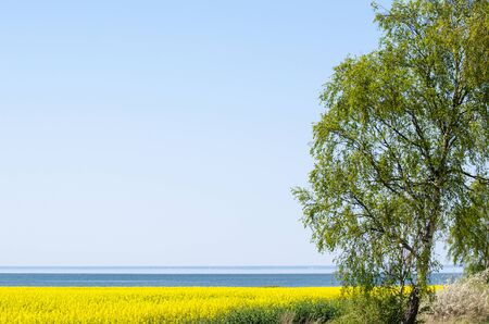 monoculture: Yellow canola field, blue water and a green tree at spring