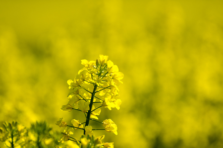 Canola flower closeup with yellow blurred background
