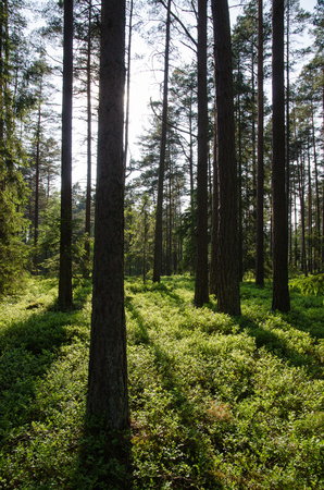 blueberry bushes: Fresh green and shiny blueberry bushes in a coniferous forest