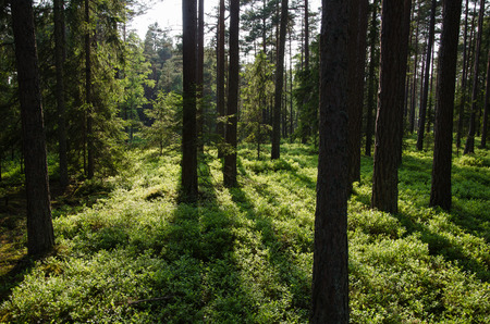 blueberry bushes: Beautiful pine tree forest with the ground covered of fresh green blueberry bushes