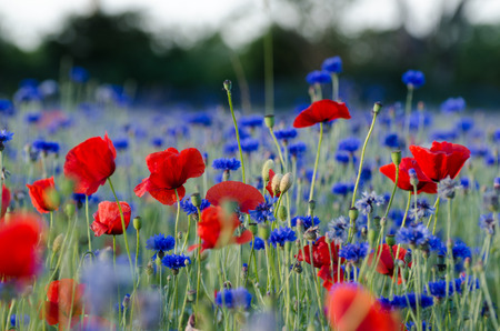 overwhelming: Summer feeling with blossom poppies and cornflowers in a field Stock Photo