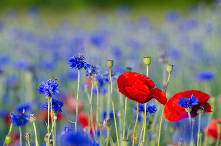 overwhelming: Closeup of a poppy flower in a cornflower field