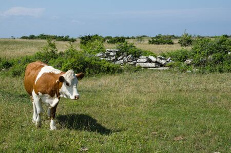 pastureland: Brown and white cow in a green pasture land with an old stone wall Stock Photo