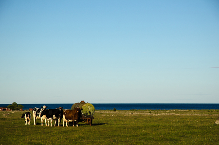 gathered: Cattle gathered by an old water tank in a coastal pasture land