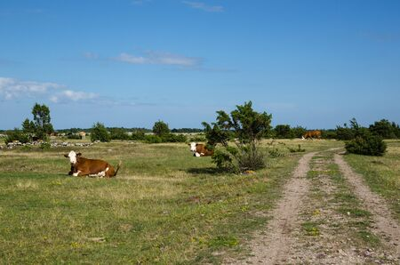 sweden resting: Resting cattle by a dirt road in the World Heritage - The Agrarian Landscape of Southern Oland - an unique grassland in Sweden Stock Photo