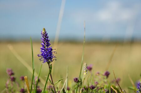 Single blossom Spiked Veronica flower in a blurred plain grassland