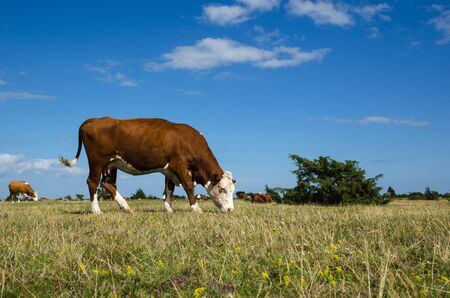 agrarian: Grazing cattle in the World Heritage - The Agrarian Landscape of Southern Oland - an unique grassland in Sweden