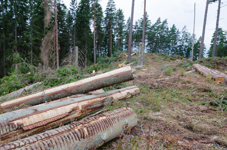 newly: Newly cut logs in a clear cut forest area