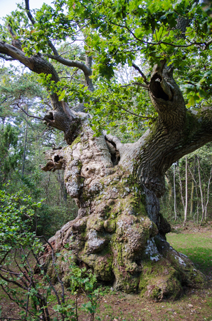 extremely: An extremely old, about 900 years, oak tree in a swedish nature reserve at the island Oland Stock Photo
