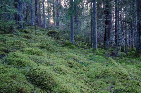 untouched: Old untouched coniferous forest with green mossy ground