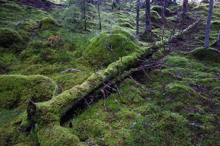 primaeval: Fallen old dead mossy tree trunk at a green forest ground