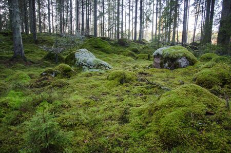 untouched: Untouched and mossy green ground in an old virgin forest